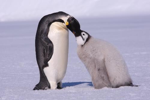 """""""Đột nhập"""" lãnh địa chim cánh cụt hoàng đế"""