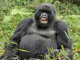 Loài khỉ đột hoang dã cũng có thể ăn thịt sống