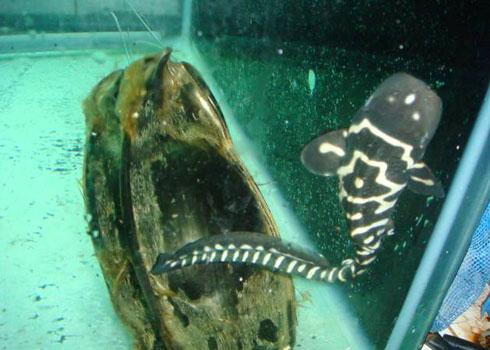 """Cá mập """"đồng trinh"""" đẻ con ở thủy cung Nha Trang"""