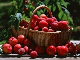 Mất 20 năm để nuôi cấy giống táo đỏ thế hệ mới