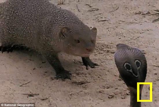 Video: Trận chiến sinh tồn giữa cầy xám và rắn hổ mang bành