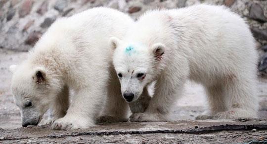 Giao phối khác loài làm gấu trắng tuyệt chủng