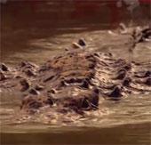 Video: Cận cảnh cú đớp sấm sét của cá sấu khổng lồ