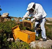 Thiếu ong mật, sản lượng cây trồng nhiều nước bị đe dọa
