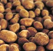 Sản xuất khoai tây giống tiết kiệm tiền tỉ