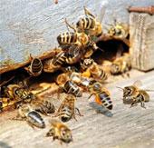 Loài ong biến mất thì loài người cũng tuyệt chủng