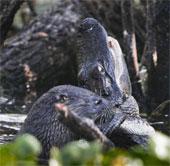 Video: Rái cá tấn công cá sấu Mỹ