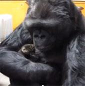 Video: Khỉ đột chơi đùa cùng mèo con