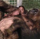 Video: Khỉ đột lần đầu gặp mẹ