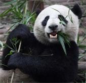 Phát hiện thú vị về sở thích hảo ngọt của loài gấu trúc