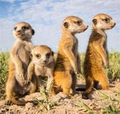 Hình ảnh đẹp về cầy Meerkat