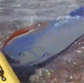 Cá mái chèo xuất hiện ở Mexico