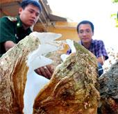 Đưa sò tượng quý hiếm vào bảo tàng thiên nhiên Việt Nam