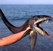 Cá lưỡi trích răng nhọn hoắt dạt bờ