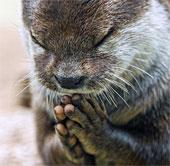 Hình ảnh cảm động: Rái cá chắp tay cầu nguyện