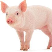 Tế bào gốc được cấy ghép trên lợn thành công