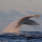 Phát hiện con cá voi lưng gù bạch tạng cực hiếm ở Australia