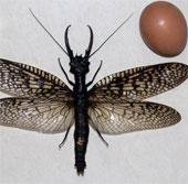 Phát hiện con chuồn chuồn lớn nhất, thô thiển nhất thế giới