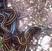 """Loài rắn sọc ma quái """"giả gái"""" để hút sinh khí tình địch"""