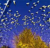 """Cảnh tượng kỳ thú: Vẹt đuôi xanh """"xâm chiếm"""" Tokyo"""