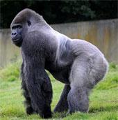 Kỳ lạ khỉ đột đi lại như người
