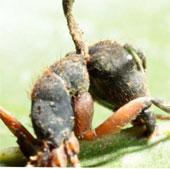 Nấm biến kiến thành thây ma để kiểm soát kiến, cho kiến chết quanh tổ
