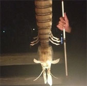 Một ngư dân bất ngờ câu được con tôm tít khổng lồ dài gần 50cm