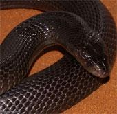 Lính Mỹ ở Trung Đông khiếp sợ trước rắn độc và bọ cạp