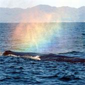 Giải mã hiện tượng cá voi tạo cầu vồng tuyệt đẹp
