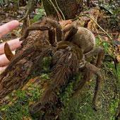 Con nhện khủng có kích thước bằng con chó con