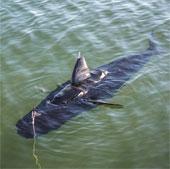 Video: Hải quân Mỹ phát triển robot do thám giống hệt cá mập