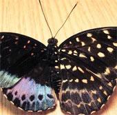 """Phát hiện bướm cực hiếm hai """"diện mạo"""", hai giới tính"""