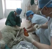 Video: Trung Quốc ghép tim thành công cho cừu