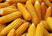 Việt Nam đã cho phép trồng 3 giống ngô biến đổi gien