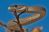 """Loài rắn """"ác mộng Châu Phi"""" tử chiến với chồn"""