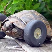 Cụ rùa 90 tuổi được lắp bánh xe làm chân giả