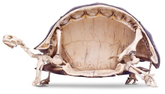 Khám phá sửng sốt về mai rùa
