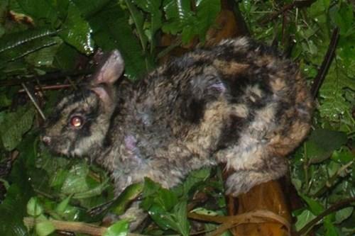 Phát hiện loài thỏ hiếm nhất thế giới ở Việt Nam