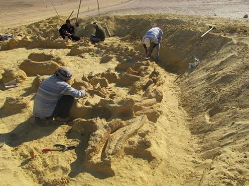 Hóa thạch cá voi nằm trong cá voi sát thủ cổ đại
