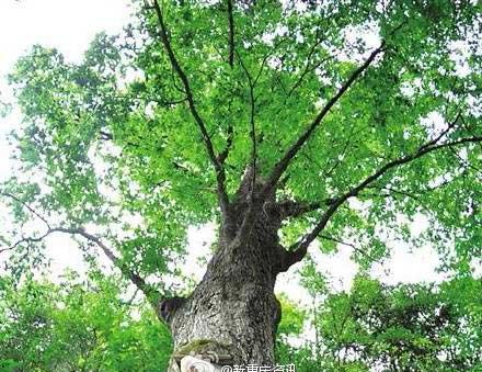 Kỳ lạ cây cổ thụ dự báo thời tiết chính xác 90% ở Trung Quốc