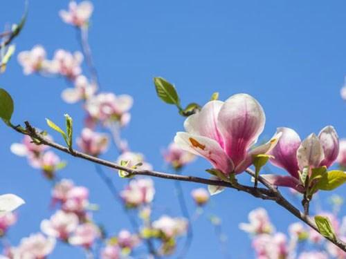 Hợp chất từ hoa mộc lan có thể trị ung thư đầu và cổ