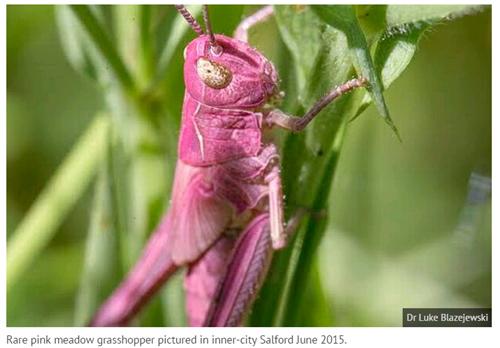 Xuất hiện châu chấu màu hồng cực hiếm