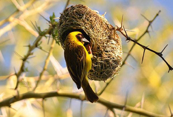 Kinh ngạc với những tổ chim kỳ lạ trên thế giới