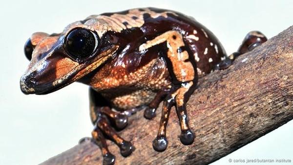 Hai loài ếch mới có độc tố kinh khủng hơn cả rắn hổ