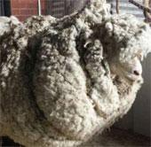 Con cừu có bộ lông nặng nhất thế giới