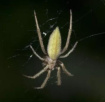 """Tìm ra loài nhện """"vũ phu"""" nhất quả đất"""