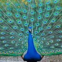 Loài chim công và những khám phá gây kích thích nhất