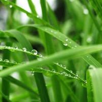 Loài cỏ có thể là niêu Thạch Sanh hút CO2