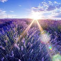 Say đắm trước vẻ đẹp hút hồn của cánh đồng hoa oải hương