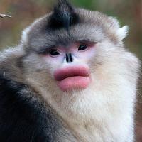 Loài linh trưởng môi căng hồng mỗi mùa giao phối